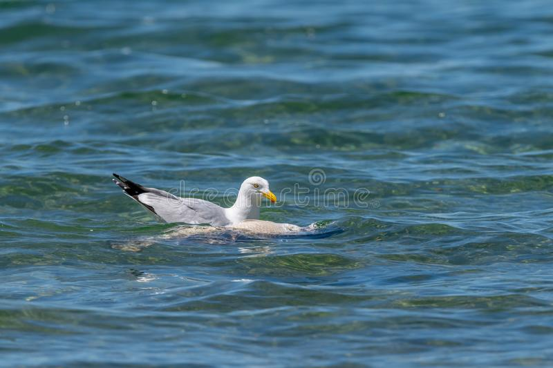 Herring gull Larus argentatus feeding on a dead fish stock image