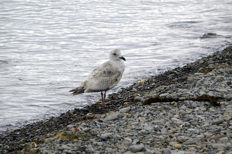 Herring Gull Larus argentatus sea bird sitting on the stone shore of the sea of Japan. On a cloudy spring day. Far East, Russia stock images