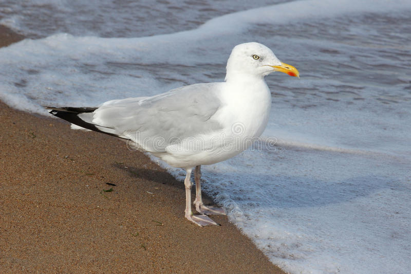 Herring Gull Larus argentatus on seashore. Single Herring gull (Larus argentatus) on seashore at edge of incoming tide showing clearly it's yellow bill with red royalty free stock photos