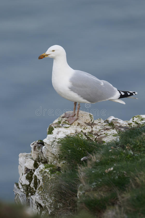 Herring gull, Larus argentatus. Single bird dropping mussels to open them, Sussex, March 2014 royalty free stock photos