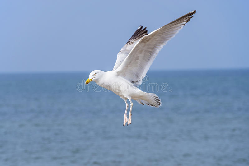 Herring gull, Larus fuscus L. flying. Over the sea royalty free stock image