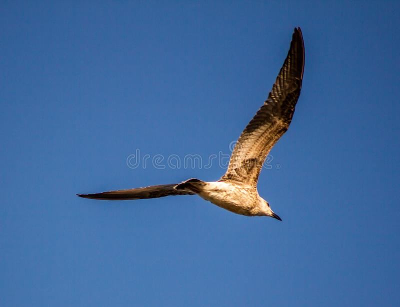 Herring gull Larus michahellis Naumann, 1840 Bird of medium-large size belonging to the order of the Caradriformes. Dimensions. Length 55-65 cm, wingspan 128 stock photography