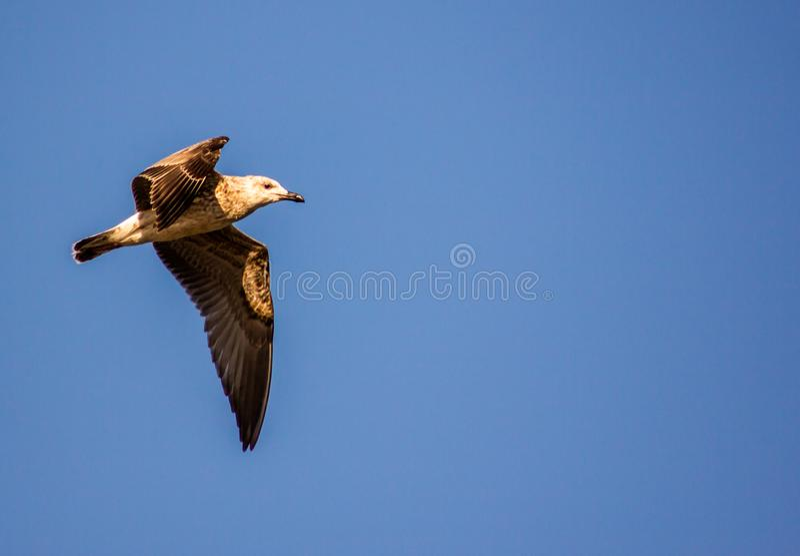 Herring gull Larus michahellis Naumann, 1840 Bird of medium-large size belonging to the order of the Caradriformes. Dimensions. Length 55-65 cm, wingspan 128 royalty free stock photos
