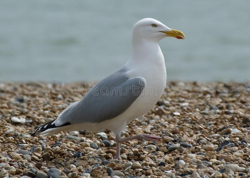 A herring gull out for a walk stock images