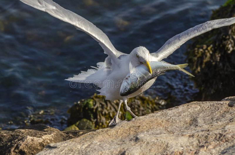 Herring gull preparing to feed on dead bluefish stock images