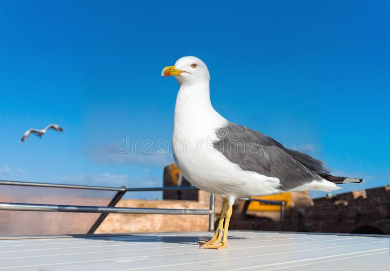 Herring Gull sitting on a ship deck stock images