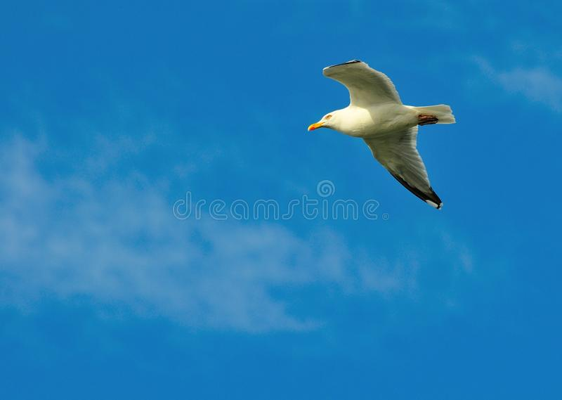 Download A Herring Gull. stock photo. Image of tail, soaring, bird - 40057896