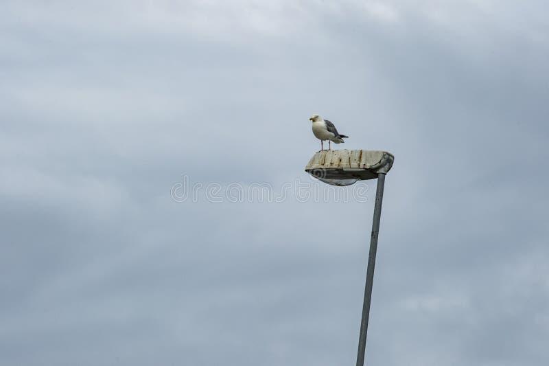 Herring gull. Standing on street light stock images