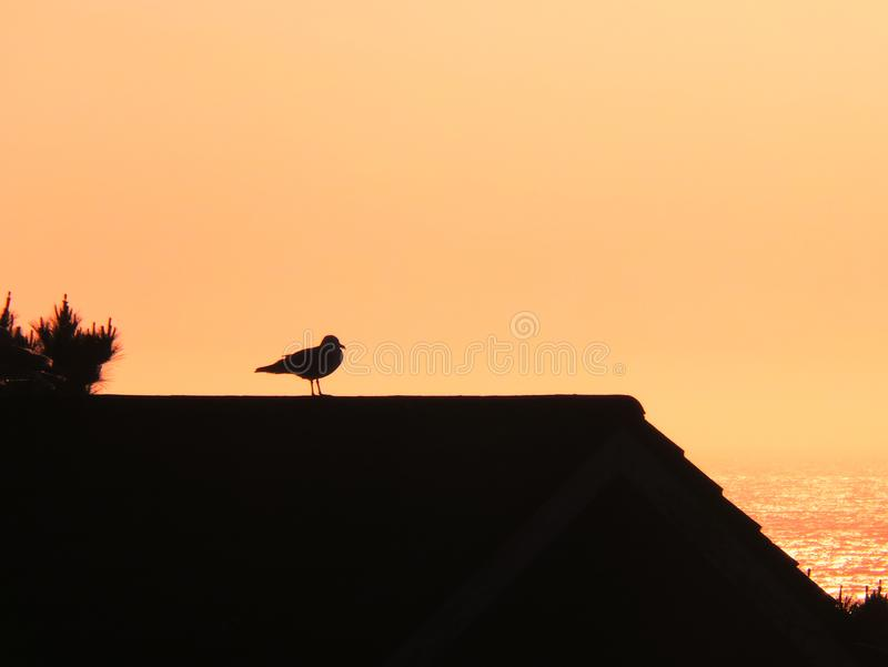 Herring Gull stood on a roof. Silhouetted by the sunset stock photos