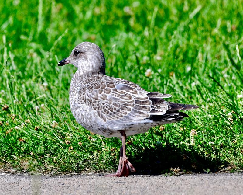A Herring Gull #1. This is a Summer picture of a Herring Gull on a path in Lincoln Park located in Chicago, Illinois in Cook County.  This picture was taken on royalty free stock photos