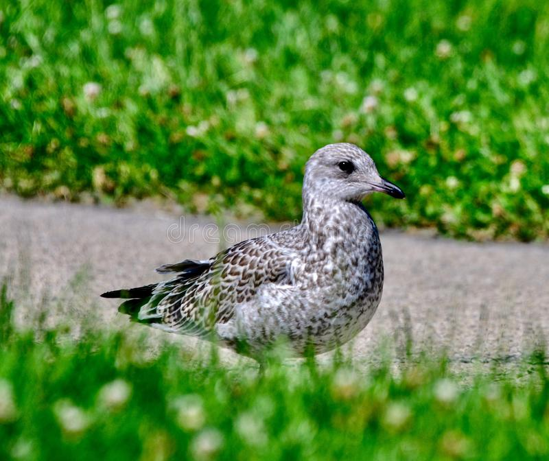 A Herring Gull #2. This is a Summer picture of a Herring Gull on a path in Lincoln Park located in Chicago, Illinois in Cook County.  This picture was taken on royalty free stock images