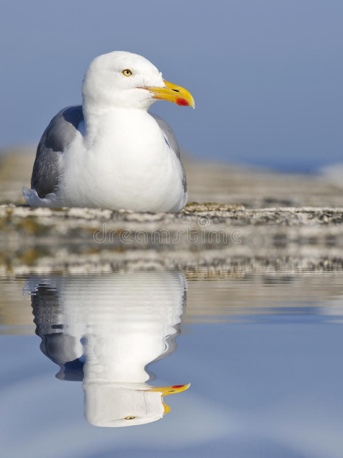 Free Herring Gull With Big Reflection On Water Royalty Free Stock Photos - 38816388