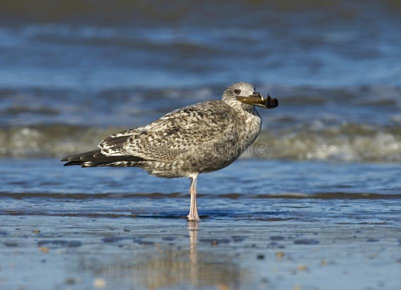 Herring Gull, Zilvermeeuw, Larus argentatus. Herring Gull immature perched on a beach with shell in its bill; onvolwassen Zilvermeeuw zittend op strand met royalty free stock image