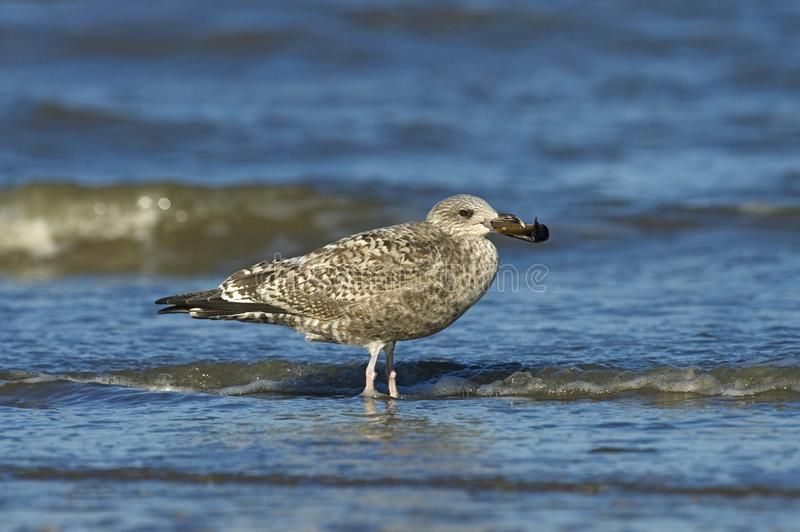 Herring Gull, Zilvermeeuw, Larus argentatus. Herring Gull immature perched on a beach with shell in its bill; onvolwassen Zilvermeeuw zittend op strand met royalty free stock images