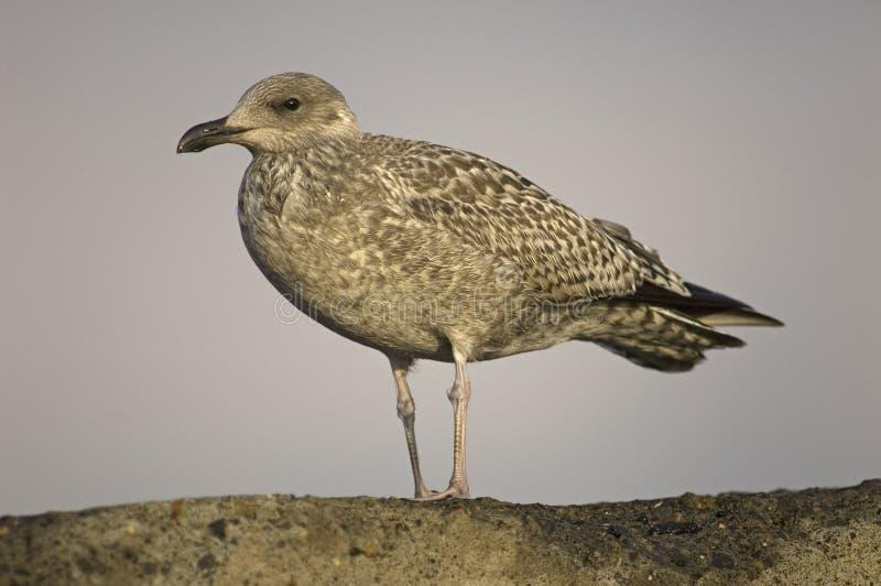 Herring Gull, Zilvermeeuw, Larus argentatus. Herring Gull immature standing on rock Netherlands, Zilvermeeuw onvolwassen staand op rots royalty free stock image