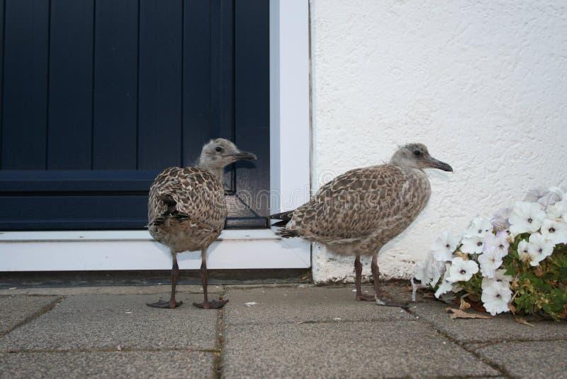 Herring Gull, Zilvermeeuw, Larus argentatus. Herring Gull immature standing in a street; Zilvermeeuw onvolwassen staand op straat stock image