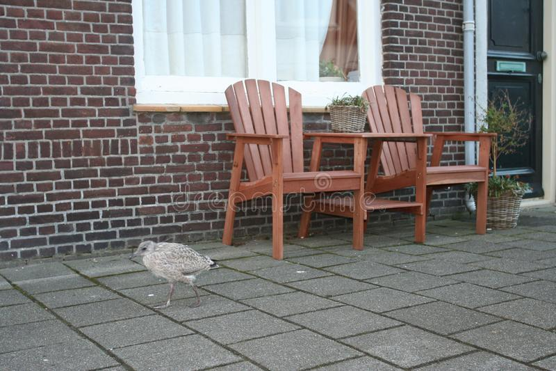Herring Gull, Zilvermeeuw, Larus argentatus. Herring Gull immature standing in a street; Zilvermeeuw onvolwassen staand op straat royalty free stock image