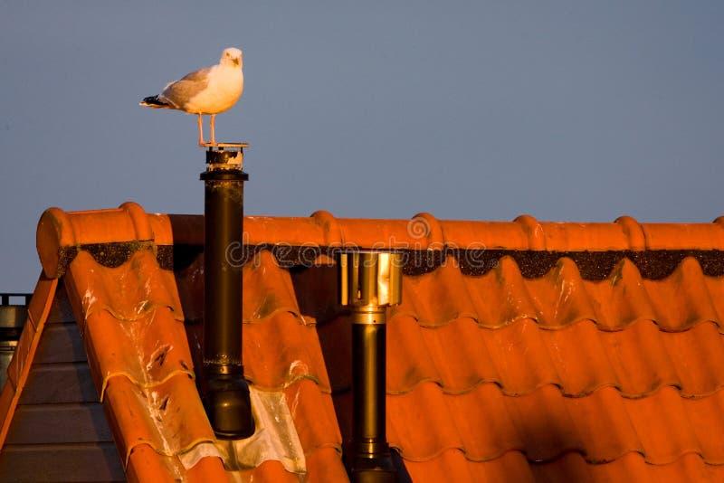 Herring Gull, Zilvermeeuw, Larus argentatus. Herring Gull standing on the roof of a house, Zilvermeeuw staand op een dak van een huis stock photos