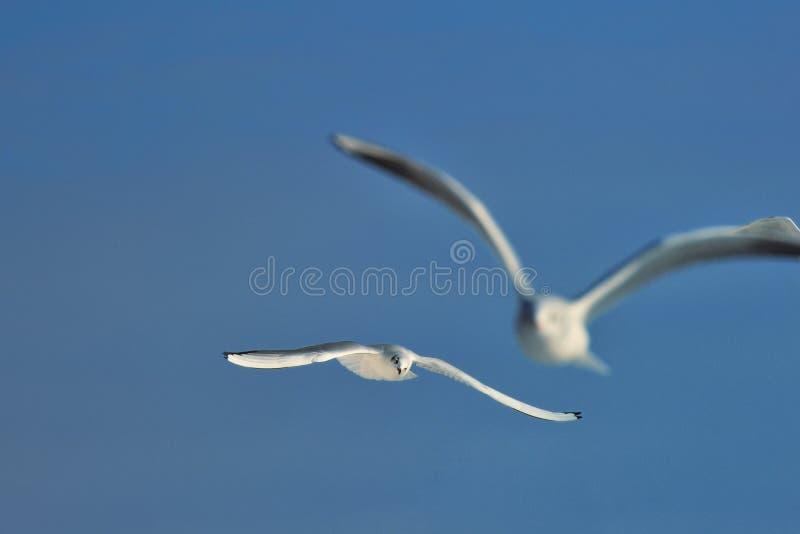Download Herring gulls stock image. Image of baltic, ocean, blue - 23346361