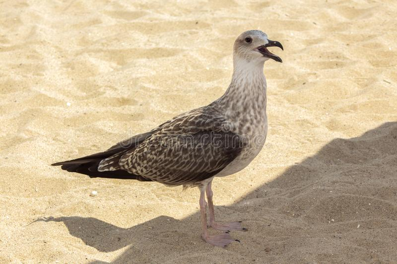 Herring gull on the sand between sunlight and shade. Herring gulls to which the name is Mediterranean Griffon Gull. On the central beach in Varna, they are royalty free stock images