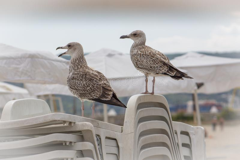 Herring gulls on folded chairs on the beach in Varna. Herring gulls to which the name is Mediterranean Griffon Gull. On the central beach in Varna, they are stock photo