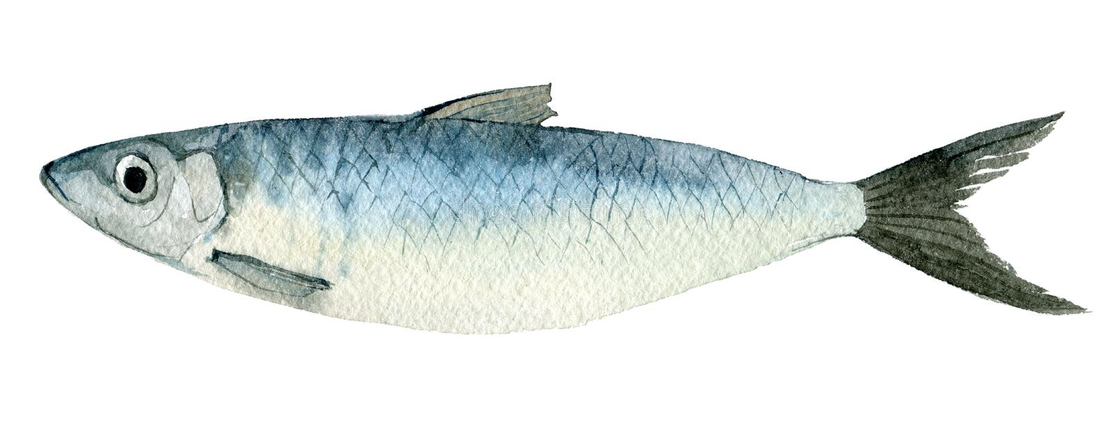 Herring isolated on white, watercolor illustration. Herring isolated on white background, watercolor illustration royalty free illustration
