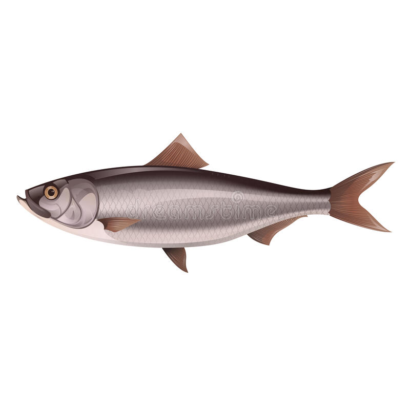 Herring. Vector image of an natural-looking grey Herring vector illustration