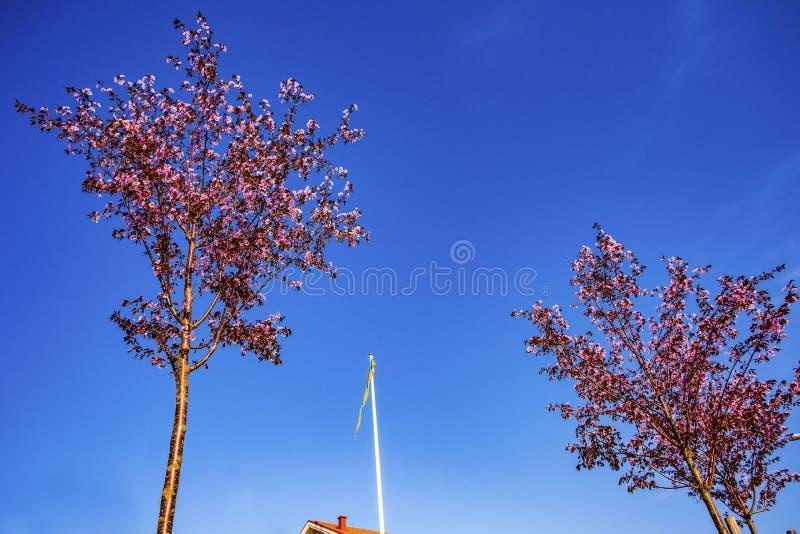 Herrliche Ansicht der schwedischen Flagge zwischen zwei blühenden Apfelbäumen auf Hintergrund des blauen Himmels stockbilder
