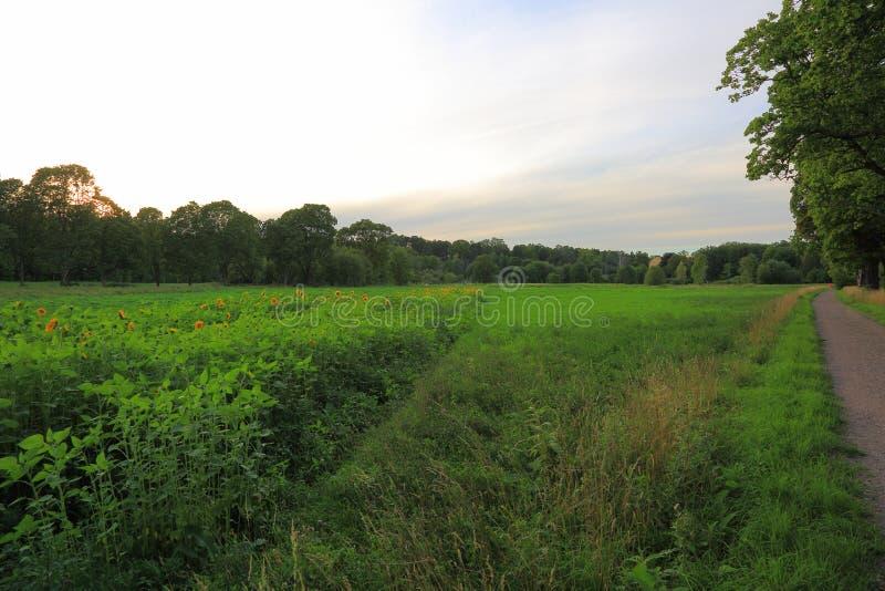 Herrliche Ansicht des grünen Feldes mit Sonnenblumenanlagen Schöne grüne Hintergründe Schweden, lizenzfreies stockfoto