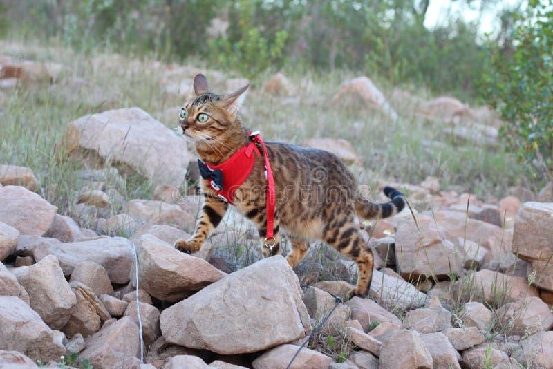 Herrliche Bengal-Katze mit eleganter Ausstattung draußen stockfotos