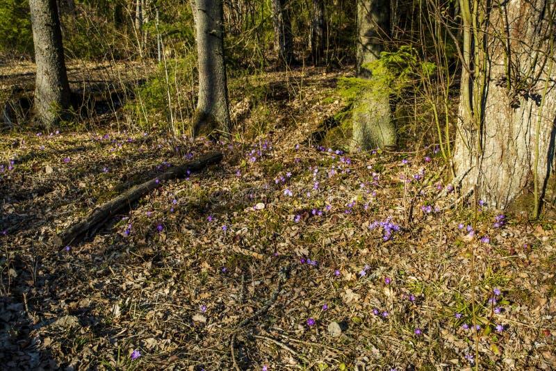 Herrliche erste Frühlingskrokusblumen im Wald stockbild
