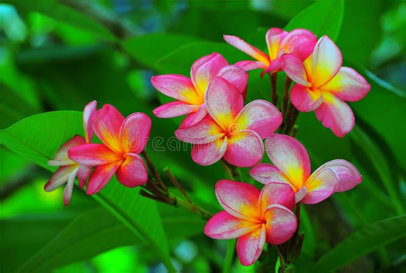 Herrliche Frangipaniblumen stockfotos