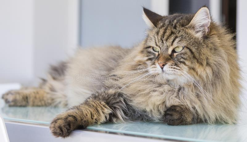 Herrliche Katze des Viehbestandes, sibirisches reinrassiges Tier Entzückendes inländisches Haustier, braunes colore lizenzfreie stockfotos