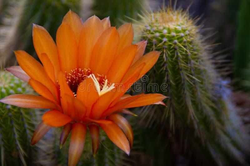 Herrliche Leuchtorangeblume, die auf einem Kaktus blüht stockfotografie