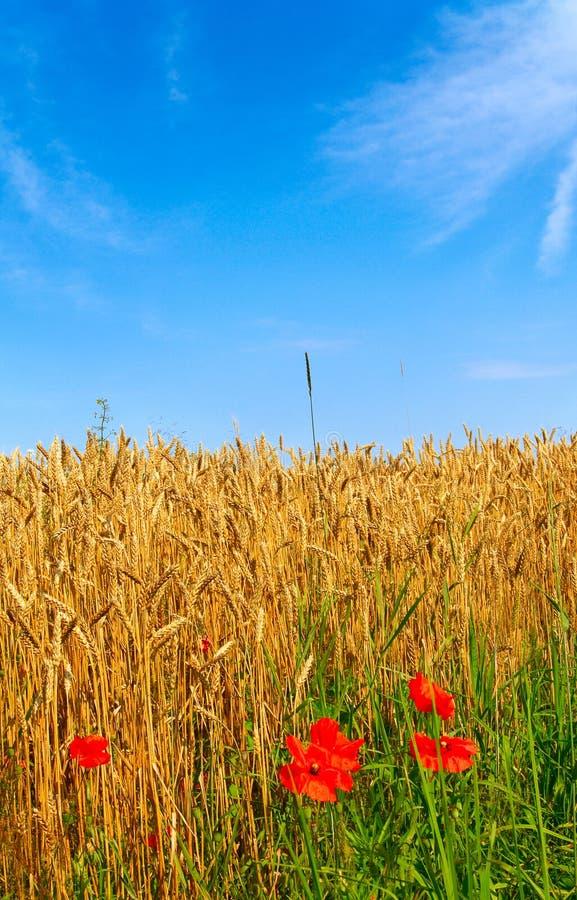 Herrliche Mohnblumen und reifer Weizen. stockbilder