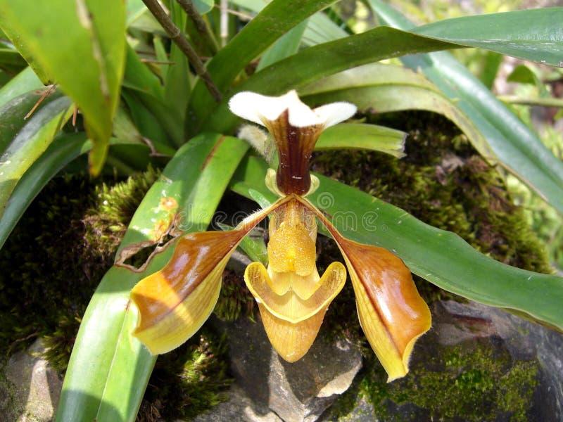 Herrliche Paphiopedilum-Pantoffel-Orchidee stockfotografie
