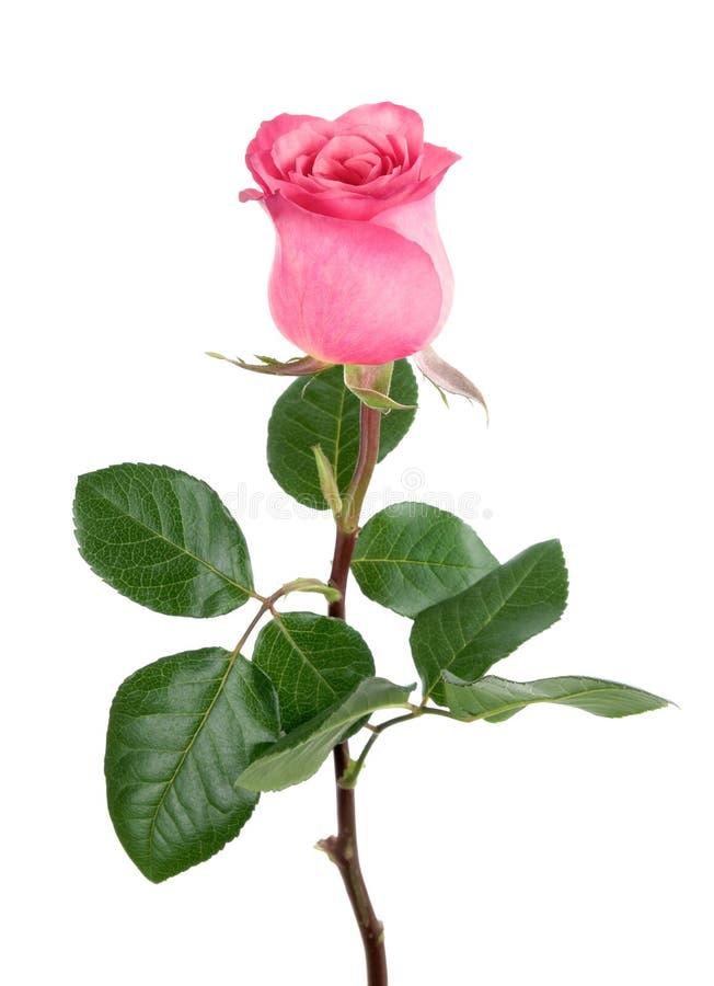 Herrliche Rosarose auf Weiß stockfotografie