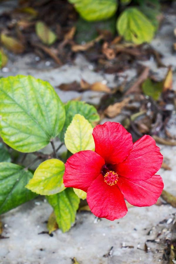 Herrliche rote Blume Märzes des Hibiscus Rosa-sinensis, alias des chinesischen Hibiscus und China stieg stockfotografie