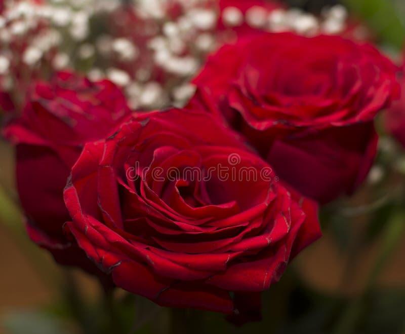 Herrliche rote Rosen lizenzfreie stockfotografie