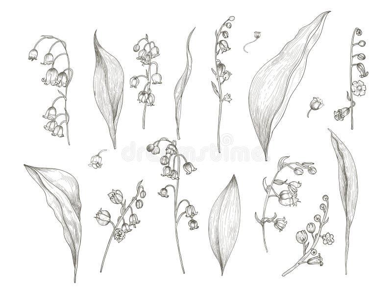 Herrliche Zeichnung des Maiglöckchens zerteilt - Blume, Blütenstand, Stamm, Blätter Hand der blühenden Pflanze gezeichnet in Wein vektor abbildung