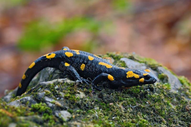 Herrlicher Feuer-Salamander, Salamandra Salamandra, beschmutzte Amphibie auf dem grauen Stein mit grünem Moos lizenzfreie stockfotografie
