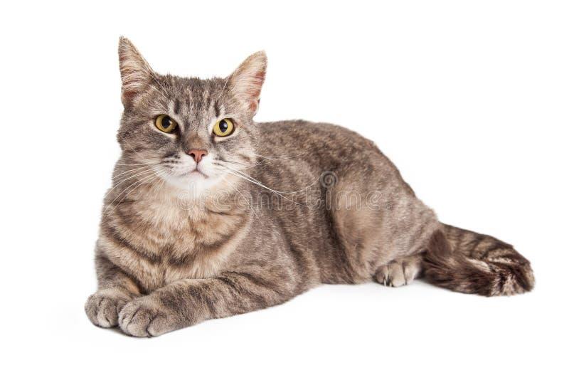 Herrlicher inländischer Shorthair Tabby Cat Laying lizenzfreies stockfoto