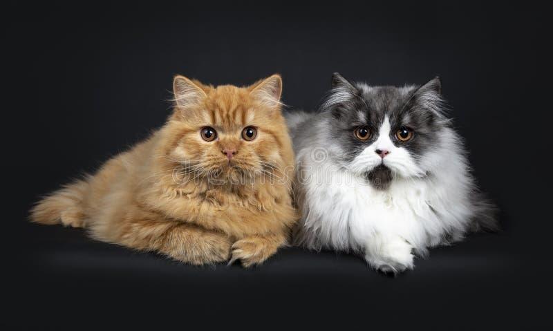 Herrliches Duo britischen langhaarigen Katzenkätzchen des roten und schwarzen Rauches, lokalisiert auf schwarzem Hintergrund lizenzfreies stockbild