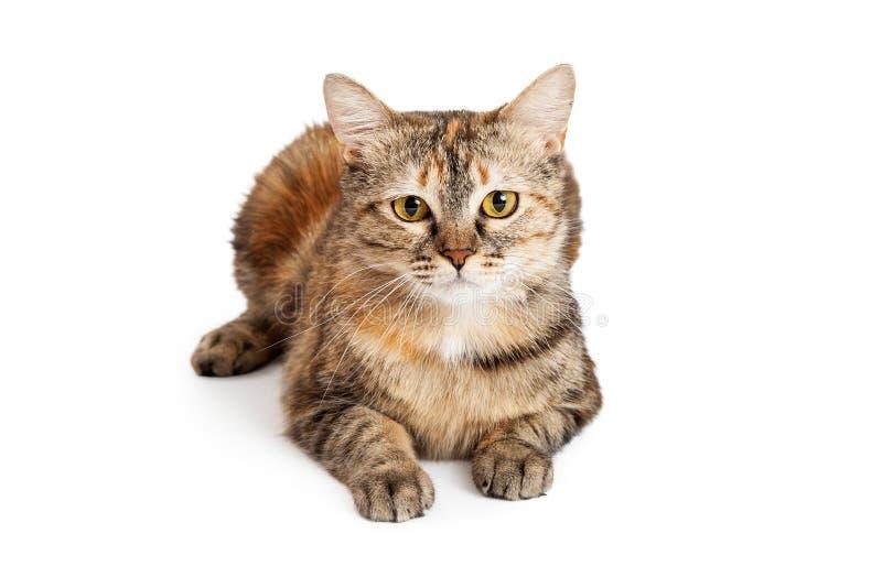 Herrliches inländisches Shorthair Tortie Cat Laying stockbilder