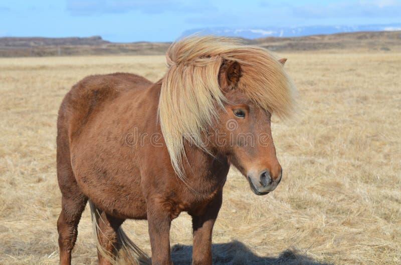 Herrliches Kastanien-Pferd mit einer blonden Mähne stockfotos