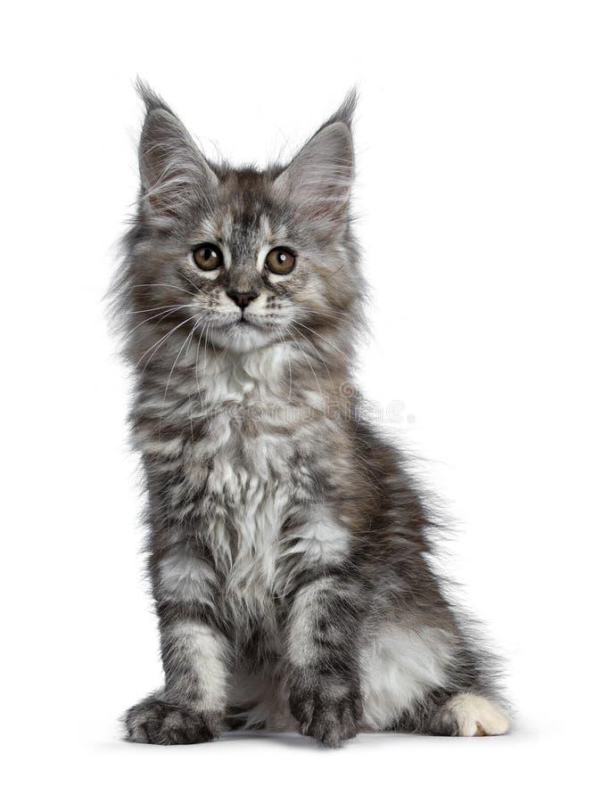 Herrliches nettes Maine Coon-Katzenkätzchen, lokalisiert auf weißem Hintergrund stockbilder