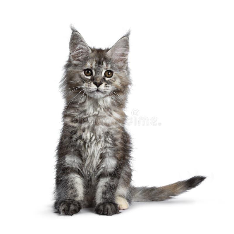 Herrliches nettes Maine Coon-Katzenkätzchen, lokalisiert auf weißem Hintergrund lizenzfreie stockfotos