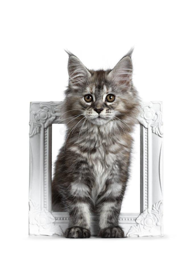 Herrliches nettes Maine Coon-Katzenkätzchen, lokalisiert auf weißem Hintergrund lizenzfreies stockfoto