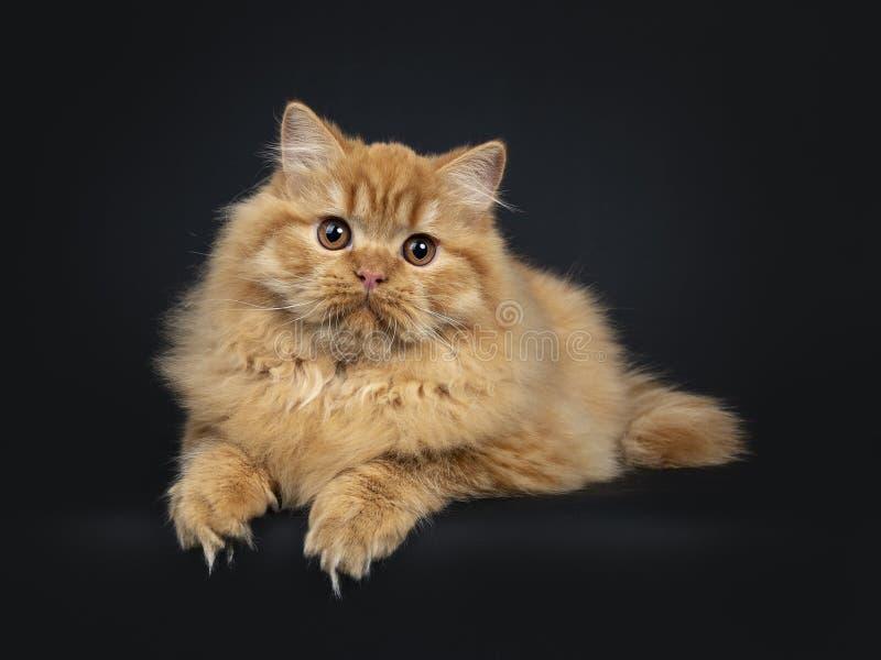 Herrliches rotes britisches langhaariges Katzenkätzchen, lokalisiert auf schwarzem Hintergrund stockbild
