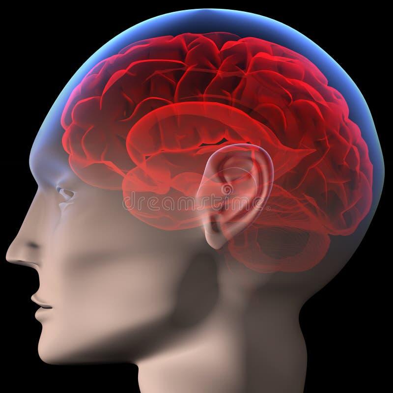 Download Hersenen Royalty-vrije Stock Foto's - Afbeelding: 4544768
